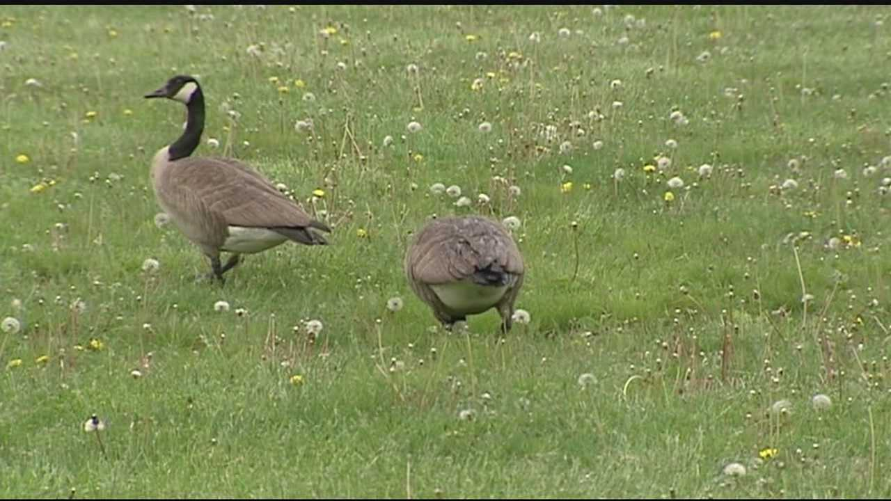 Geese families popping up all over Tri-State