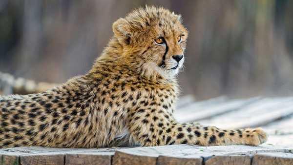 generic cheetah 05272014.jpg