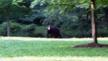 Roaming black bear spotted in Montgomery
