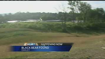 June 29, 2014: The elusive black bear that has been roaming around the Tri-State has resurfaced in Oakley.