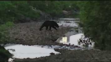 Witnesses said they saw the bear in a creek bed in the 4300 block of Madison Road as well as the parking lot of the Crossroads Church on June 29, 2014.
