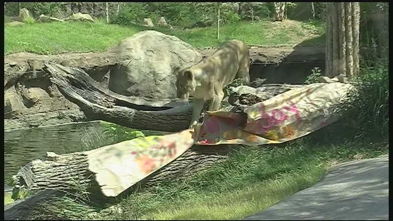 Cincinnati Zoo, visitors celebrate lioness Imani's 3rd birthday