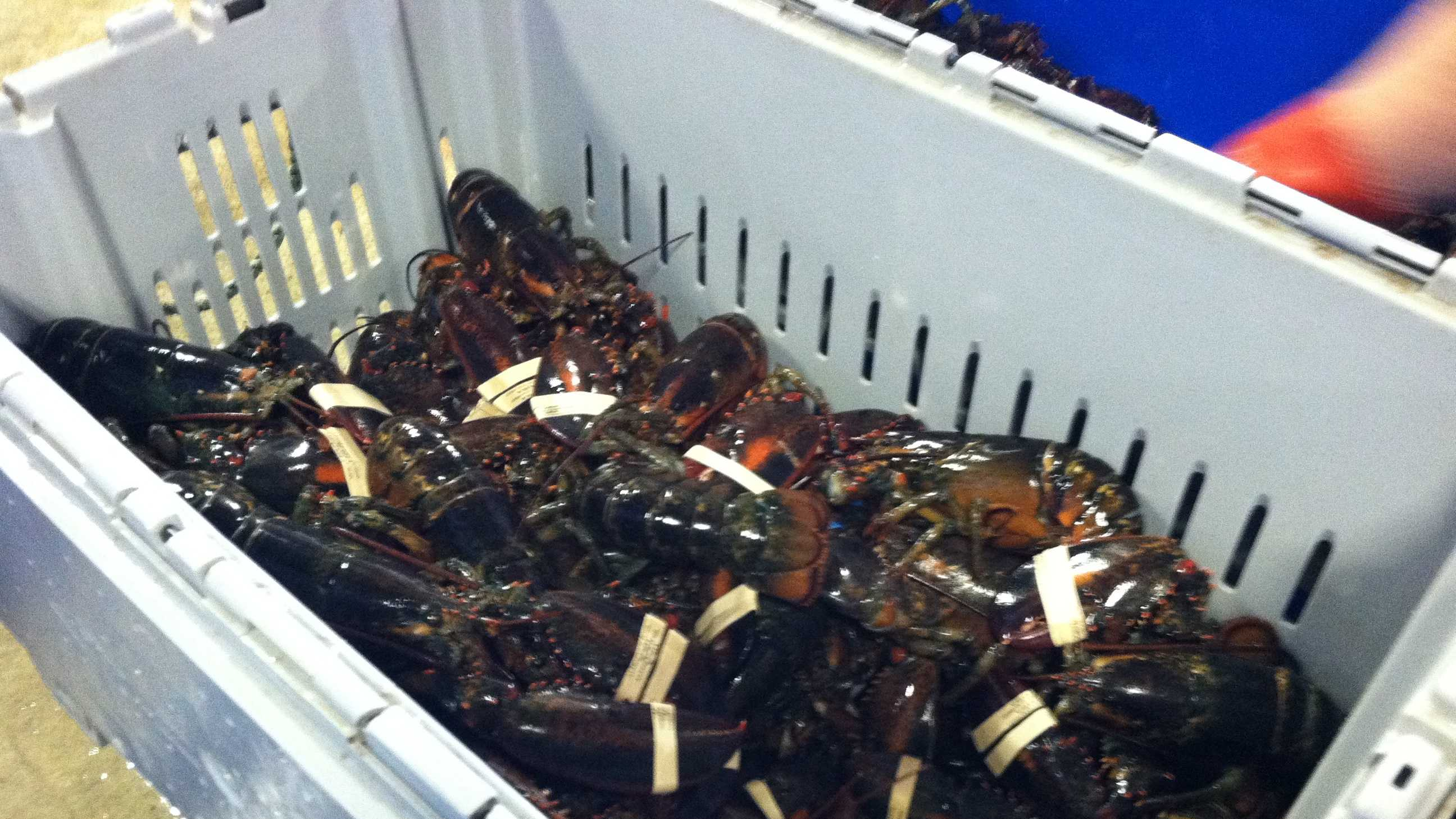 A glut in the catch combined with an abundance of soft shell lobster force prices to go down. Maine lobstermen struggle to make a profit and angry Canadian lobstemen block shipments of Maine lobsters in New Brunswick.