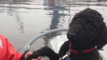 Two Bath Iron Works security guards are credited with saving poodle from a small ice chunk floating in the frigid Kennebec River.