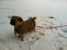 Bailey the pug enjoying the snow in Auburn