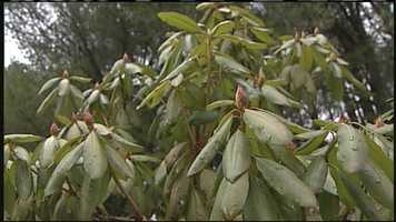WMTW News 8's Norm Karkos talks about how to get your rhododendrons to bloom.