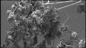 WMTW News 8's Norm Karkos talks about growing your own hops for beer.