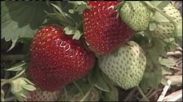 WMTW News 8's Norm Karkos talks about the best way to grow big, red, juicy strawberries.