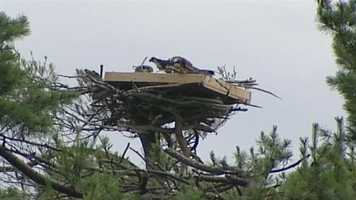 Three Osprey chicks are back with their parents after being knocked from their nest last week.