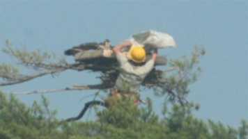 Park workers put the chicks on a platform built into the tree.