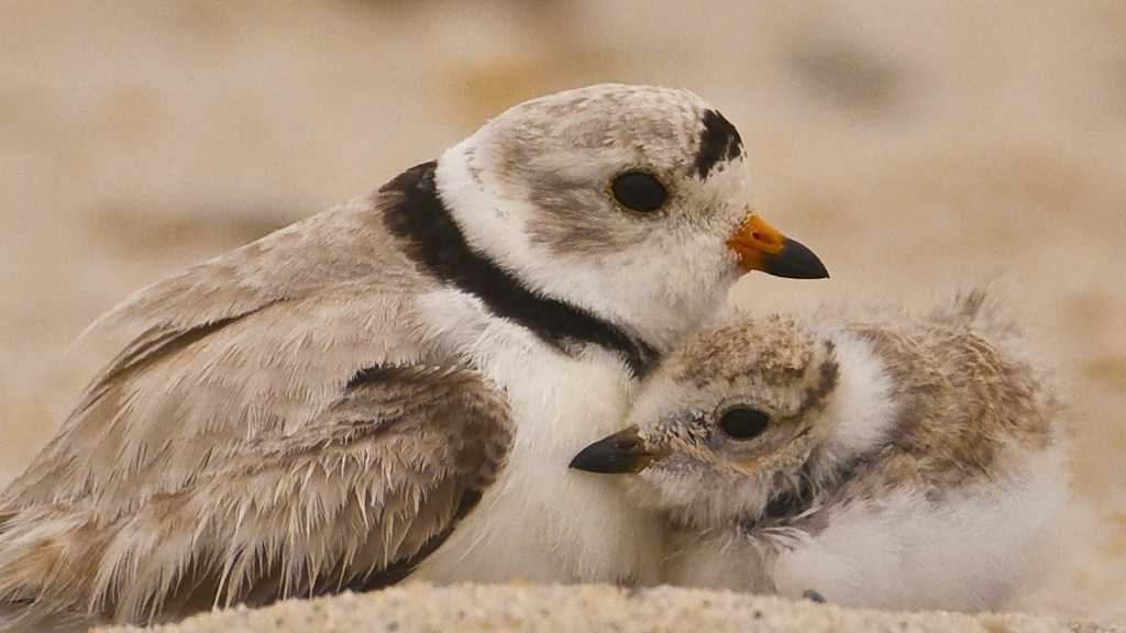 Piping Plover.JPG