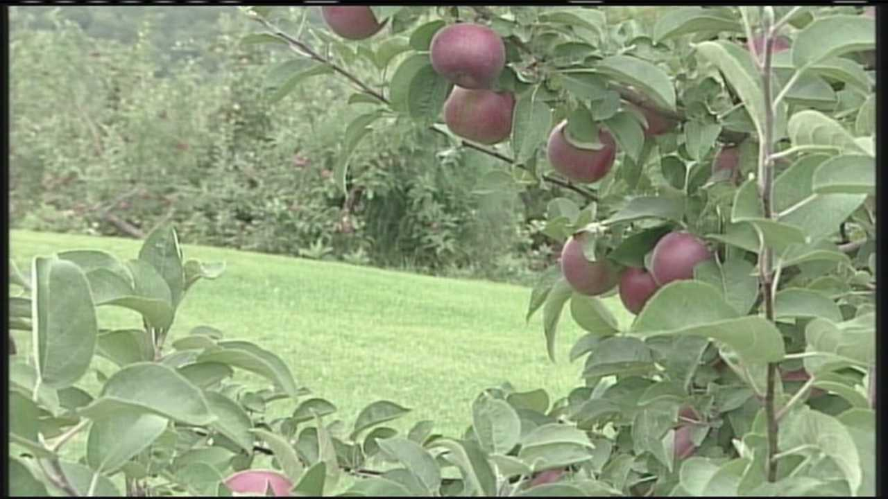 Maine apples ripe for the picking