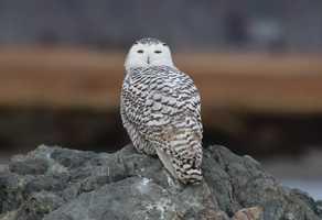 Snowy Owl near the boat launch at Salisbury Beach Sunday morning.