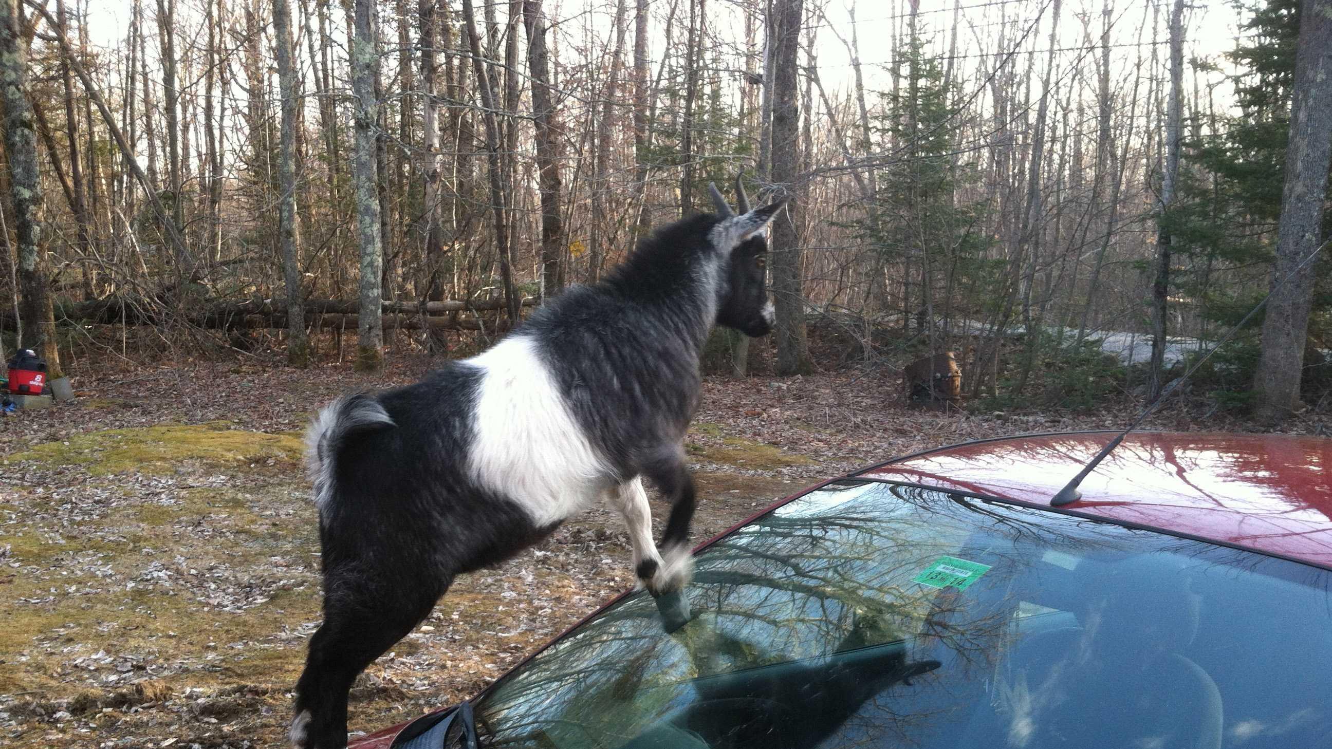 Richmond goat