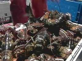 No one knows exactly how old a one pound lobster may be, but aquarium studies suggest they are 5 to 7 years old.