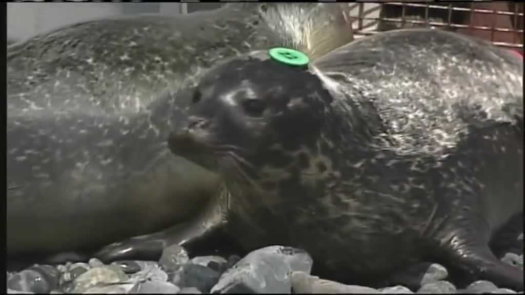 (img7)UNE releases 6 harbor seals