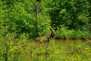 Take a guided Moose safari trip in a canoe