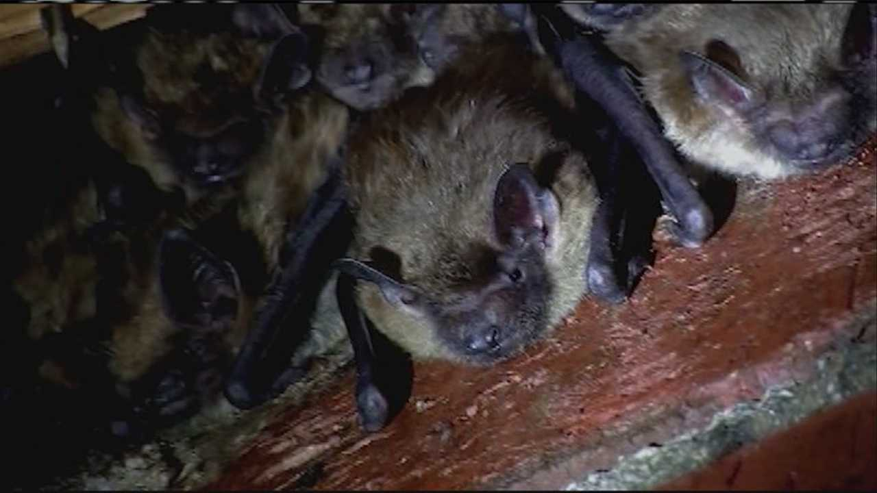 August an active month for bat infestations
