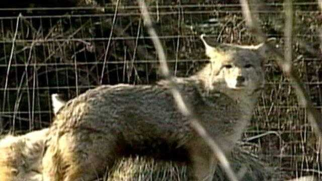 DARTMOUTH COYOTE TERROR - 20712782