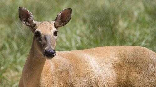 White Tailed Deer 10 - 30454530