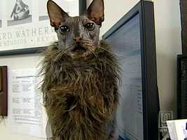 The cat is mostly bald except for hair on his chest.