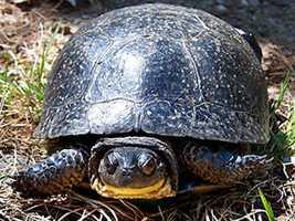 Blanding's turtle, (Emydoidea blandingii)