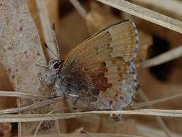 Frosted elfin butterfly, (Callophrys irus)