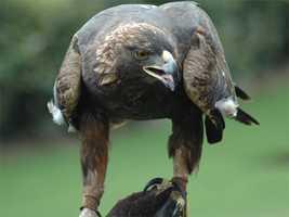 Golden eagle, (Aquila chrysaetos)