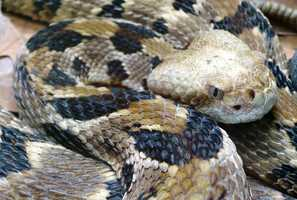 Timber rattlesnake, (Crotalus horridus)