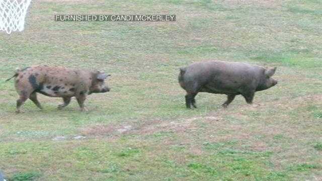 Deering pigs