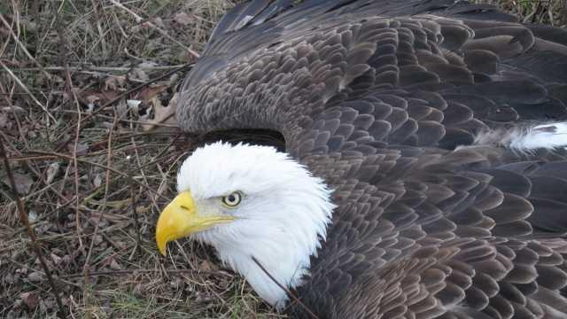 Officers, hunter save trapped bald eagle