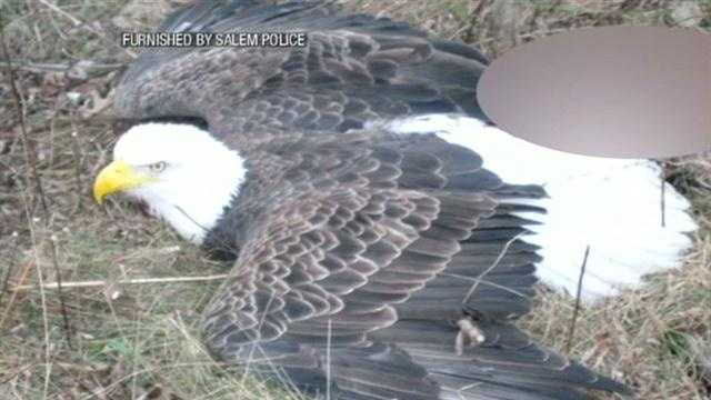 Bald eagle rescued from animal trap