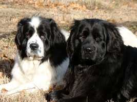 "Amy has lots of pets. ""Bella (left) and Lola, my Newfoundlands who were born in Candia, N.H., Otto my barn cat who lives inside most of the time now.""and..."