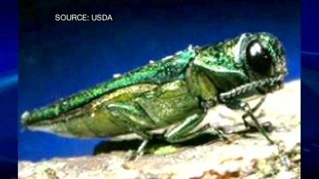Quarantine imposed after invasive beetle found