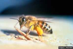 Commonly know as Killer Bees, the Africanized Honeybee was first found in South Texas in 1990. Native to Africa, the bees reached the United Stated after moving North from South America.   More aggressive than honeybees, Africanized Honeybees are negatively impacting honey production and creating safety concerns for residents in areas they now inhabit.