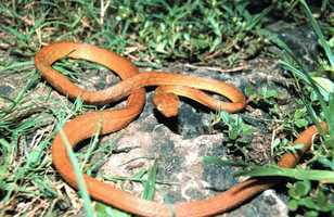 Native to Australia, Indonesia and Papua, New Guinea, the Brown Tree Snake has decimated native bird populations in Guam since the 1950s. The commercial impact includes frequent power outages caused when the snakes climb on electrical wires.  While no eradication efforts have proven successful, the use of poison laced mice as bait has shown to provide some reductions in controlled areas.