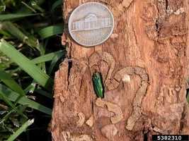 Native to eastern Russia, northern China, Japan, and Korea, the Emerald Ash Borer arrived in the U.S. in 2002 as a cargo stowaway.   This little invader, credited with causing over $3.5 billion in annual damages, holds the potential to kill most of the ash trees in this country.