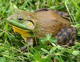 "Its true, the Bullfrog which goes by the common name ""American Bullfrog"" is an invasive species. Arriving in the early 1900s, the Bullfrog is part of childhood for kids in the Central and Eastern U.S.  This frog competes with and preys on the native species that originally inhabited waterways."