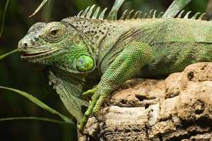South Florida, a common beach head for invasive species, is home to feral Green Iguanas. Native to Central and South America these common pets have been released in sufficient quantities to create a breeding population that is not likely to go away. Even an the unusual low temperatures in January 2008, which saw iguanas dropping dead from trees in mass quantities, has not slowed the invasion.