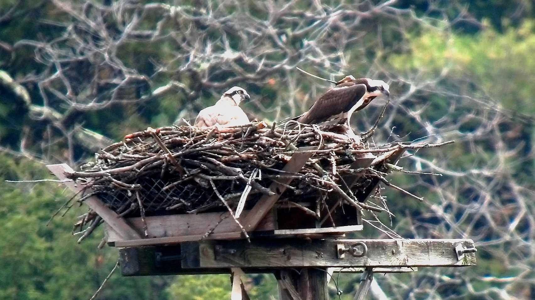 Art the osprey returns