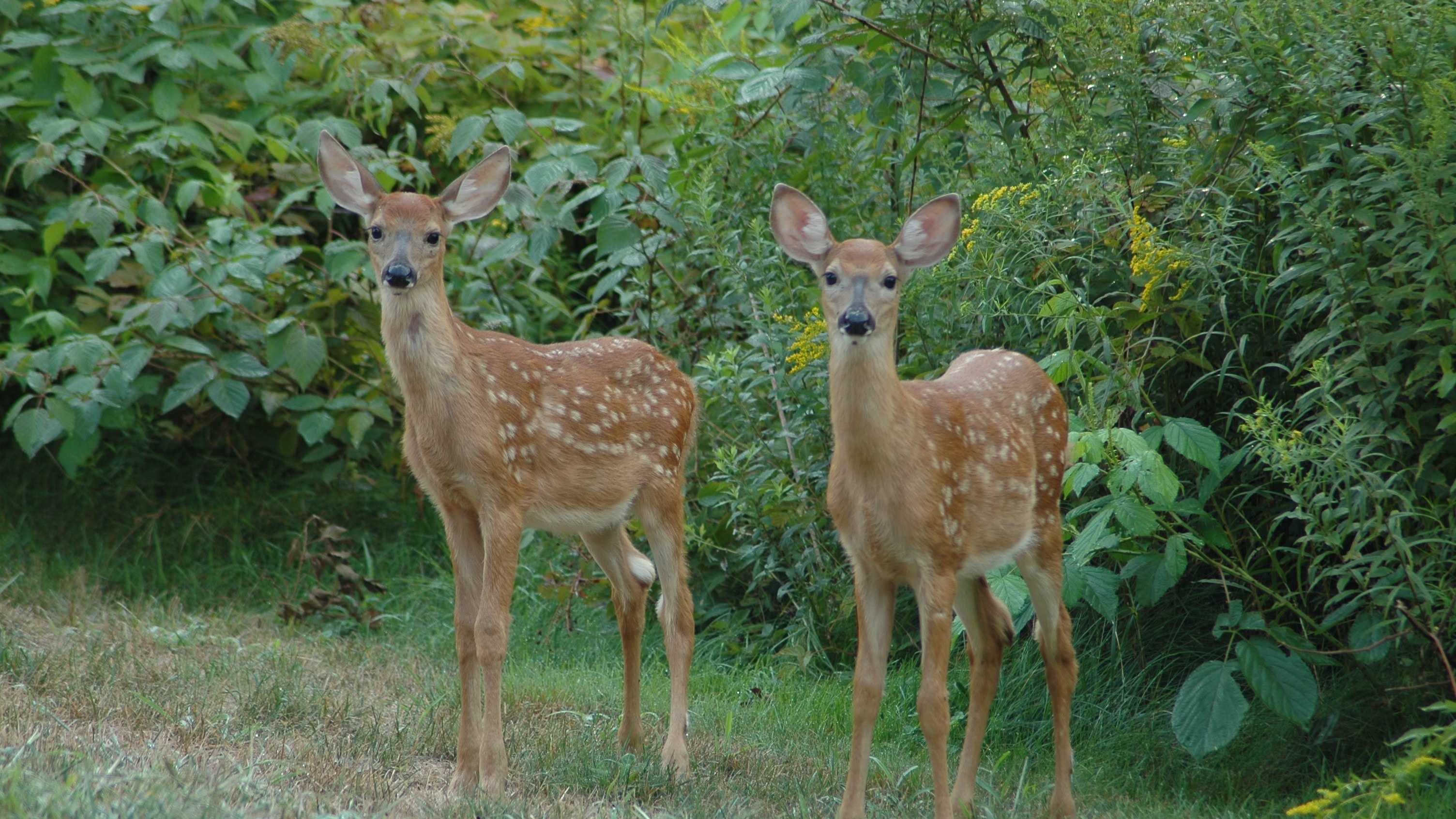 Durham-deer-sprucewood-422.jpg