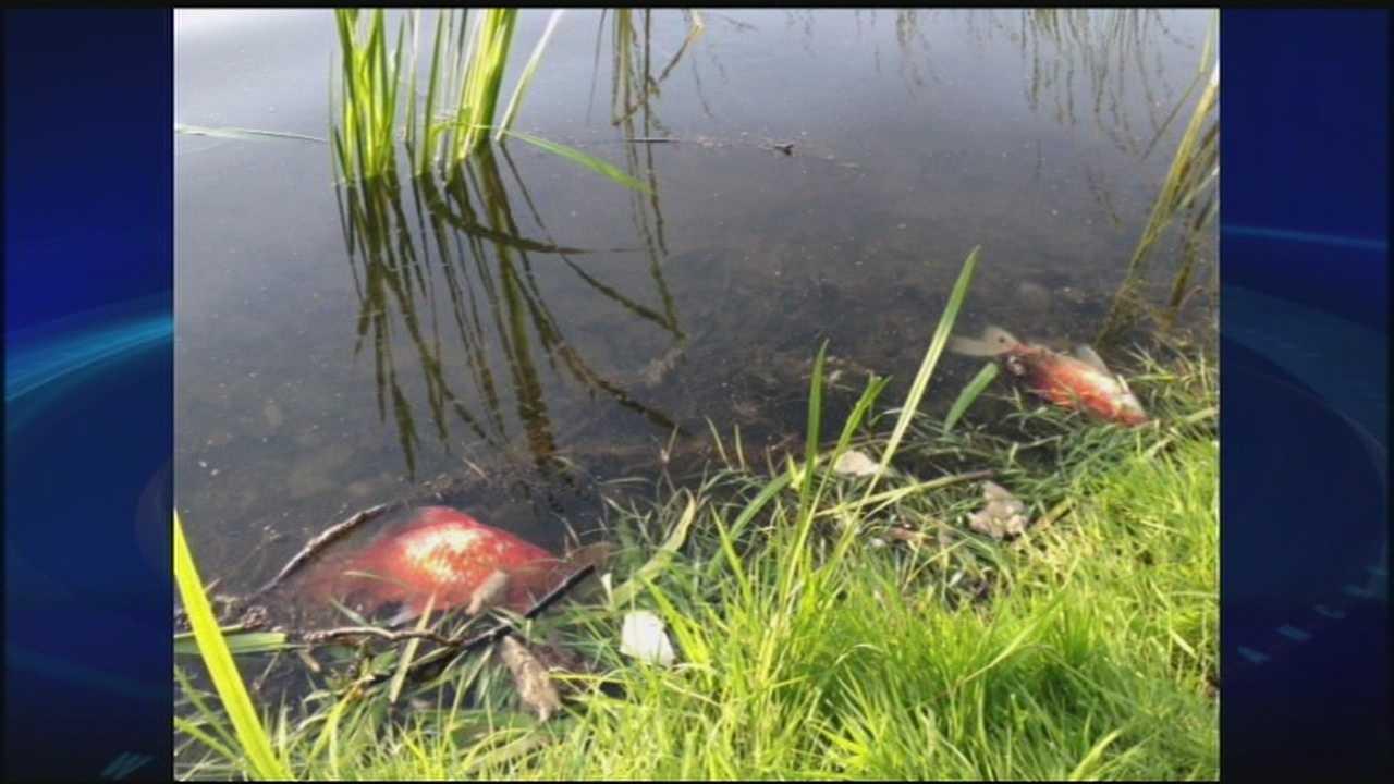 Dead Fish Found In Concord