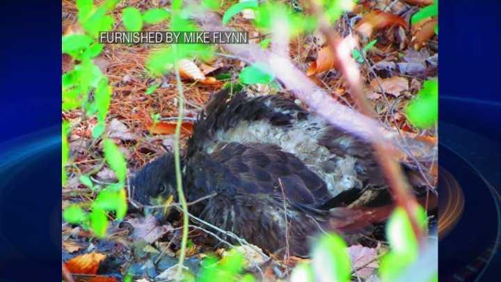 img-Bald Eagle rescued