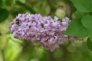 The purple lilac was named the state flower in 1919.