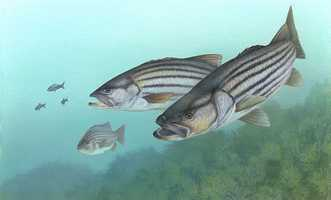 The striped bass was named the state saltwater game fish in 1994.