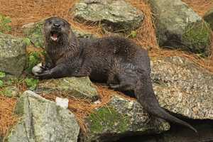 Otters have their eyes, flattened nose and small ears on the top of their skulls. Webbed feet help them swim.