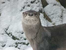 Otters are a member of the Mustelidae family and are related to minks, fisher cats, weasels, ferrets and martens.