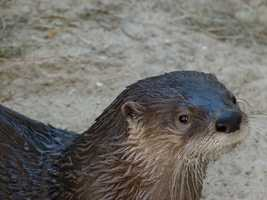 Otters hearts slow down when they dive, concentrating blood to their brains and vital organs to conserve oxygen.