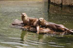 The Squam Lakes Natural Science Center has two resident river otters. The female was born in captivity. The male was rescued as a baby from the 2010 Gulf Oil Spill. He was rehabilitated and taught how to swim by humans, but because of imprinting he could not be released into the wild.