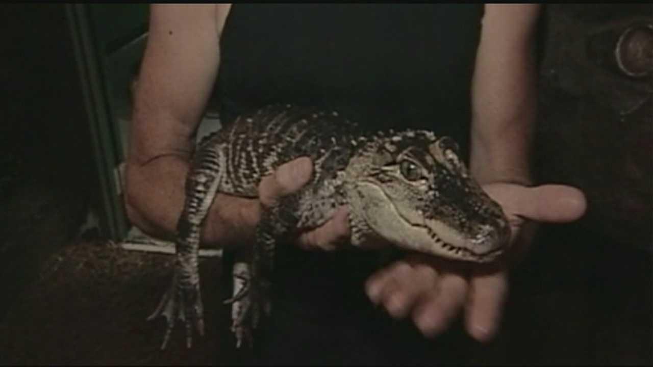 Small alligator captured in Newmarket